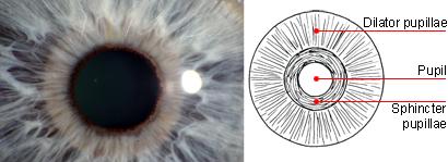 Pupillary ruff