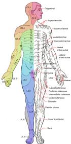 -cutaneous-nerves-anterior
