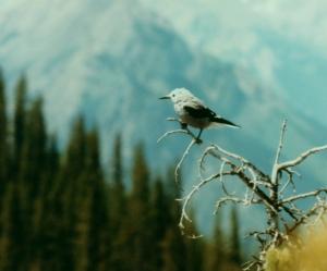 Clark's nutcracker on Sulphur Mountain, Banff National Park, Alberta